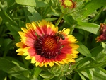 Gaillardia aristata